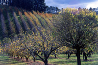 Adelaide Hills � Apple Orchard
